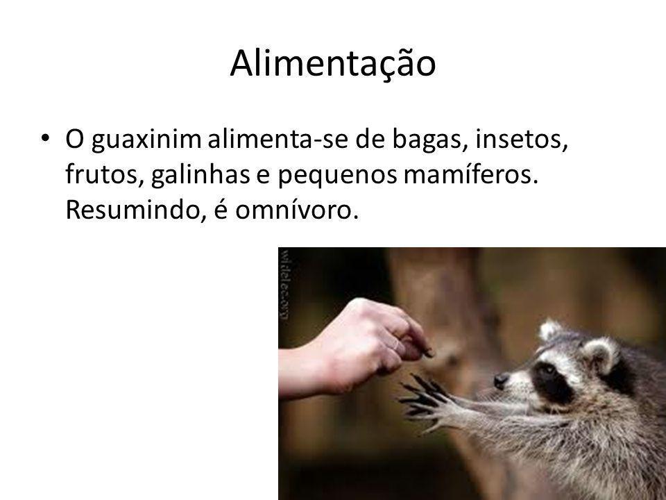 Alimentação O guaxinim alimenta-se de bagas, insetos, frutos, galinhas e pequenos mamíferos.
