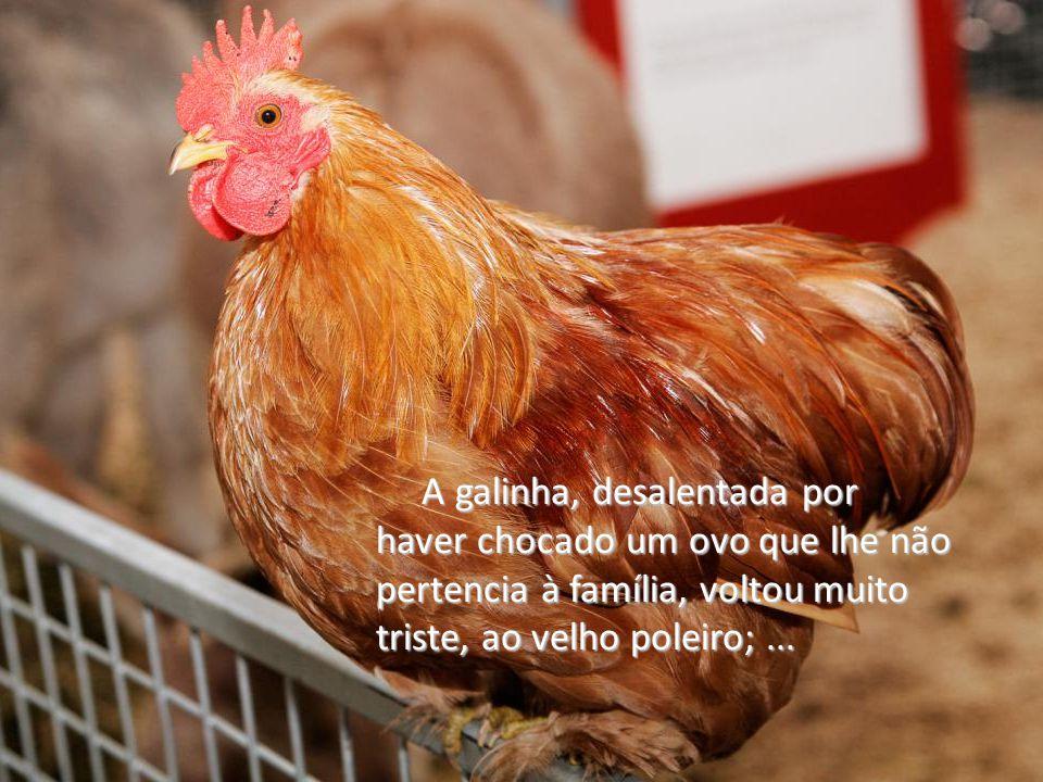 A galinha, desalentada por haver chocado um ovo que lhe não pertencia à família, voltou muito triste, ao velho poleiro; ...
