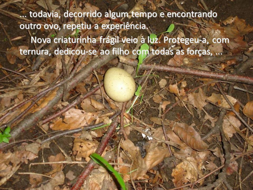 ... todavia, decorrido algum tempo e encontrando outro ovo, repetiu a experiência.