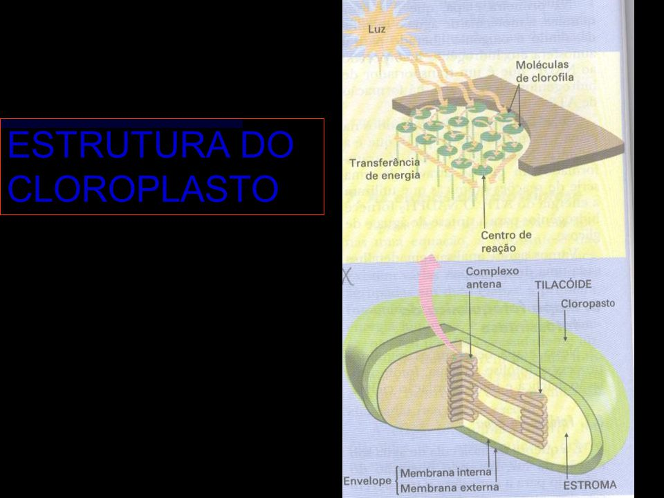 ESTRUTURA DO CLOROPLASTO