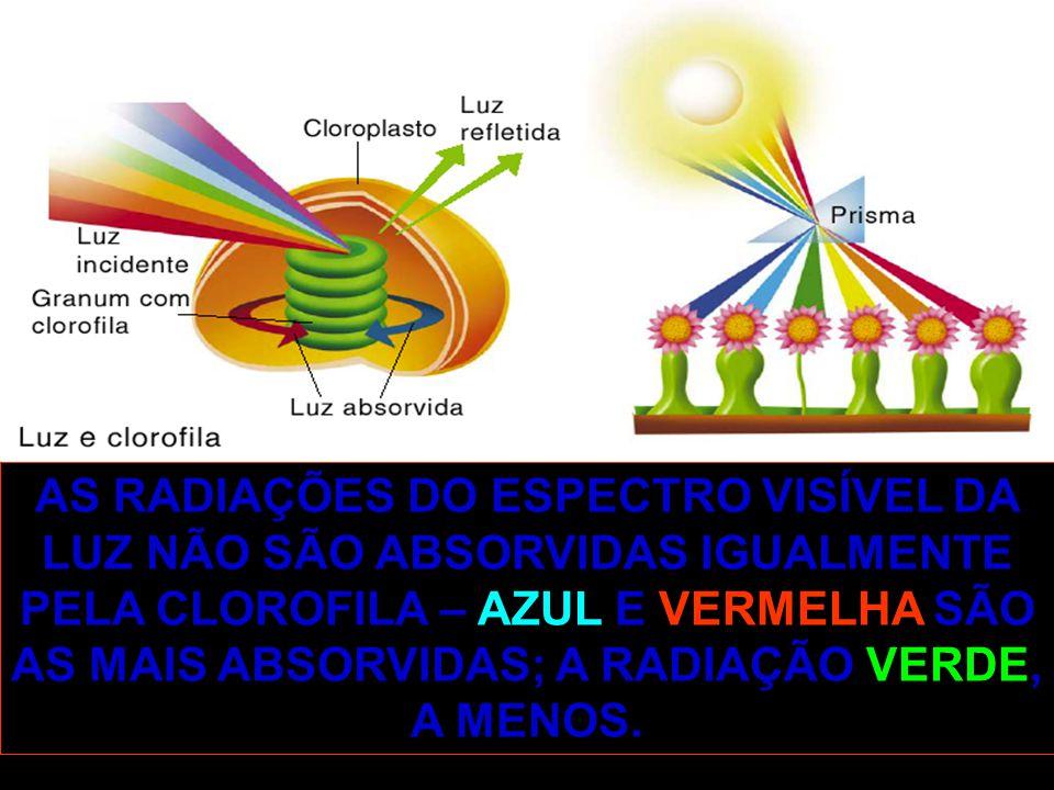 AS RADIAÇÕES DO ESPECTRO VISÍVEL DA LUZ NÃO SÃO ABSORVIDAS IGUALMENTE PELA CLOROFILA – AZUL E VERMELHA SÃO AS MAIS ABSORVIDAS; A RADIAÇÃO VERDE, A MENOS.
