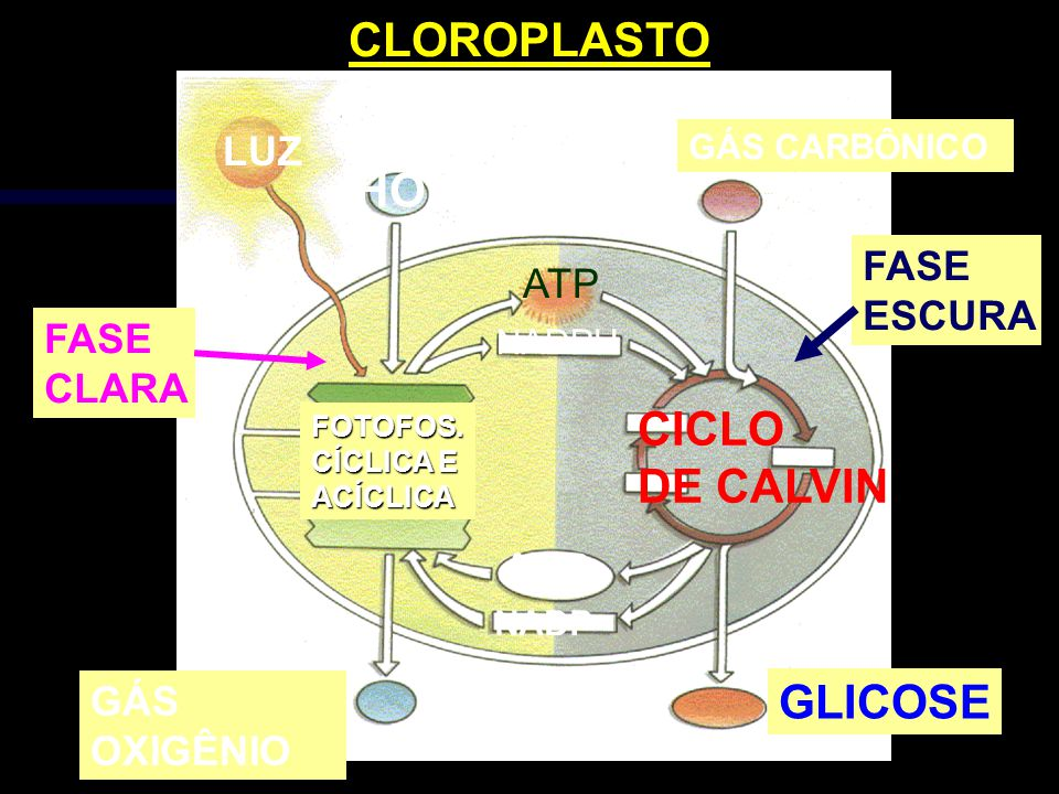 CLOROPLASTO HOH CICLO DE CALVIN GLICOSE LUZ FASE ATP ESCURA FASE CLARA