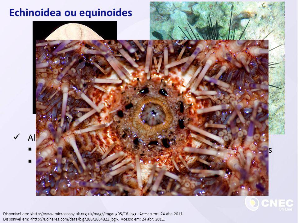 Echinoidea ou equinoides