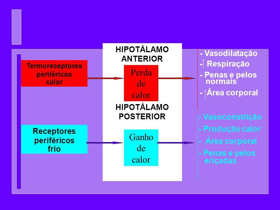 Termoreceptores periféricos Receptores periféricos