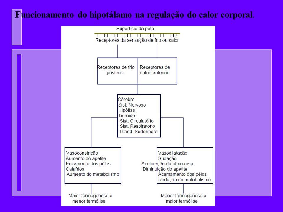 Funcionamento do hipotálamo na regulação do calor corporal.