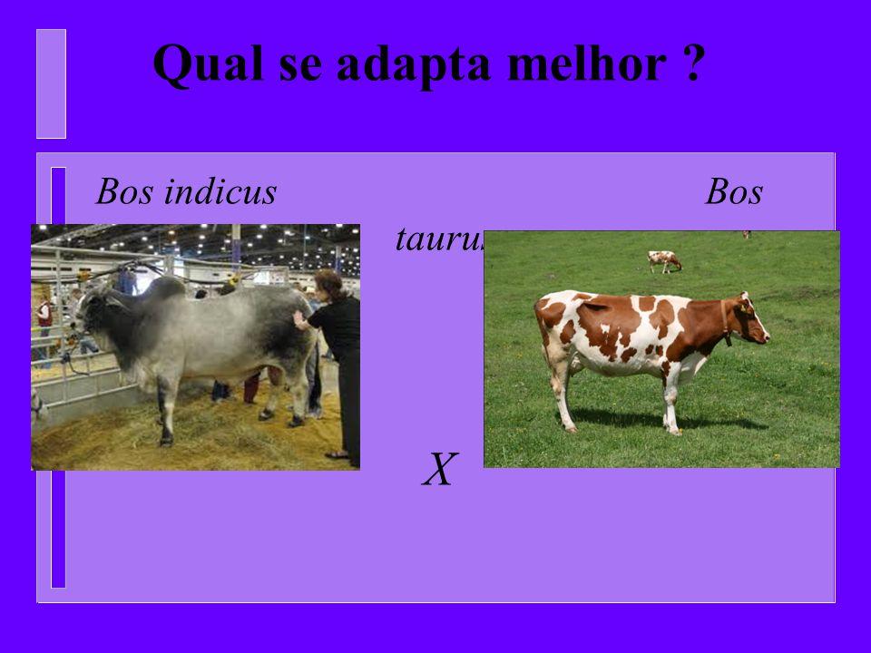 Qual se adapta melhor Bos indicus Bos taurus X