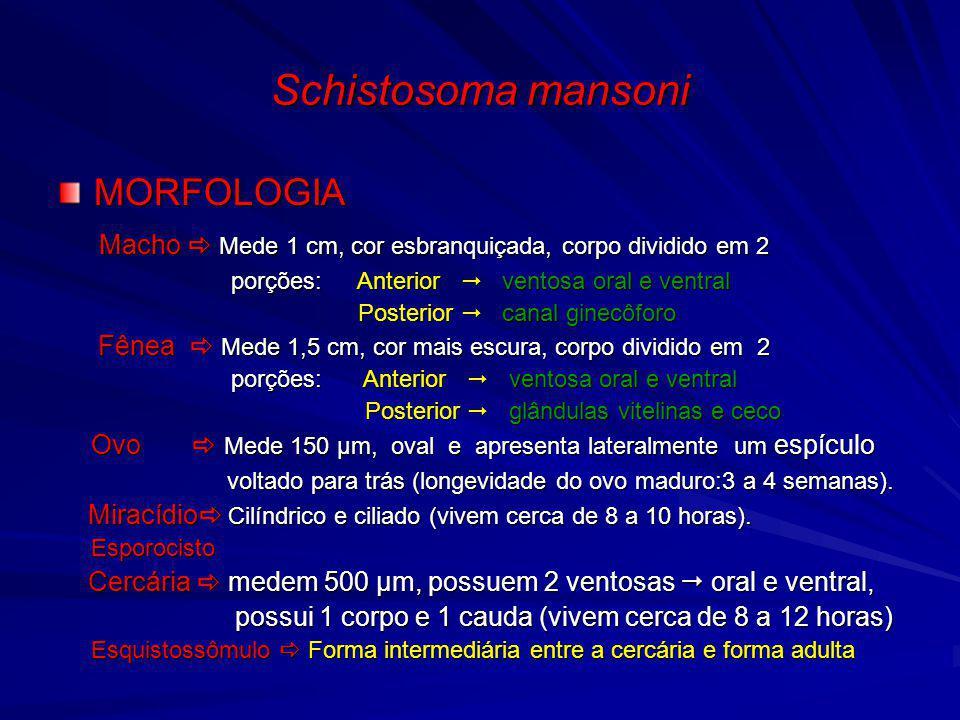 Schistosoma mansoni MORFOLOGIA