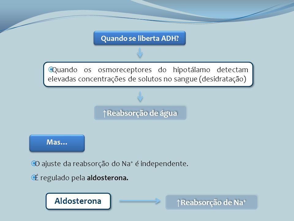 Aldosterona ↑Reabsorção de água ↑Reabsorção de Na+