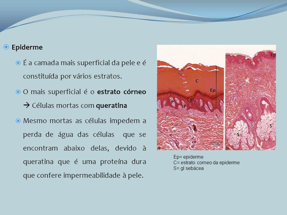 O mais superficial é o estrato córneo  Células mortas com queratina