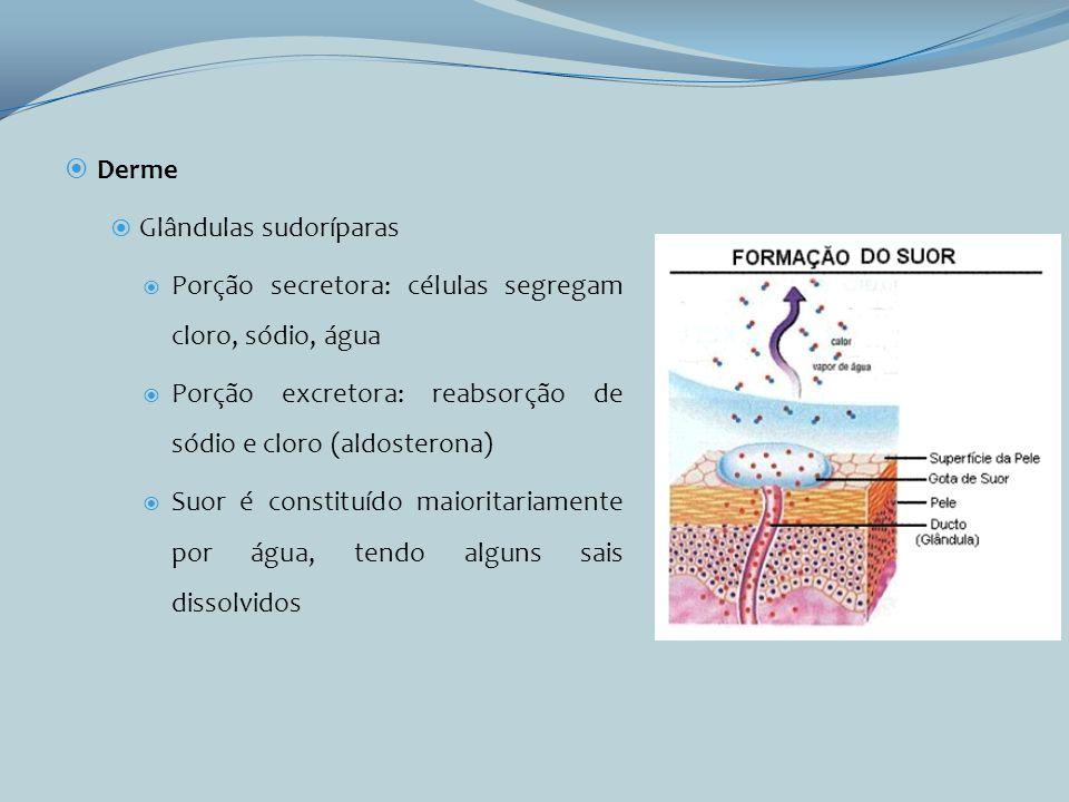 Derme Glândulas sudoríparas. Porção secretora: células segregam cloro, sódio, água. Porção excretora: reabsorção de sódio e cloro (aldosterona)
