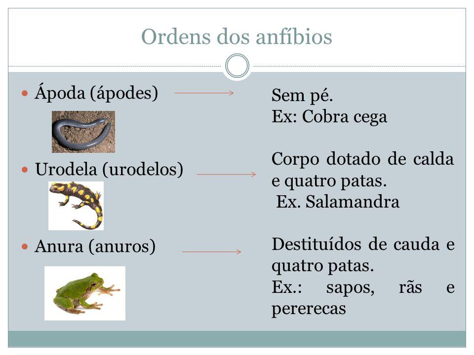 Ordens dos anfíbios Ápoda (ápodes) Sem pé. Ex: Cobra cega
