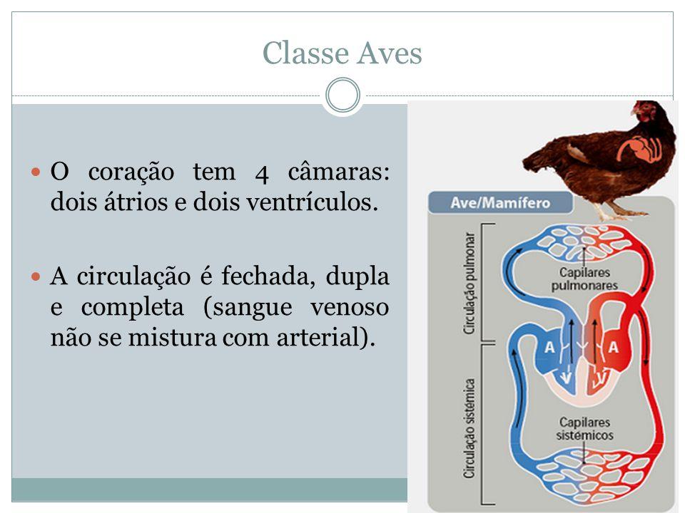 Classe Aves O coração tem 4 câmaras: dois átrios e dois ventrículos.