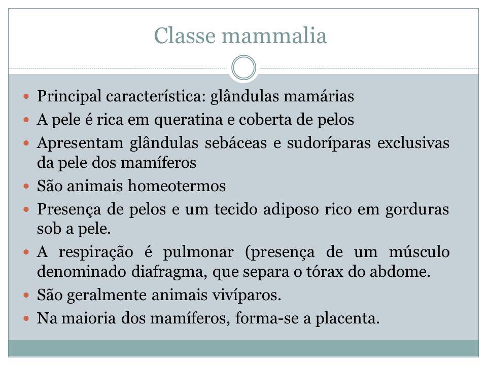 Classe mammalia Principal característica: glândulas mamárias
