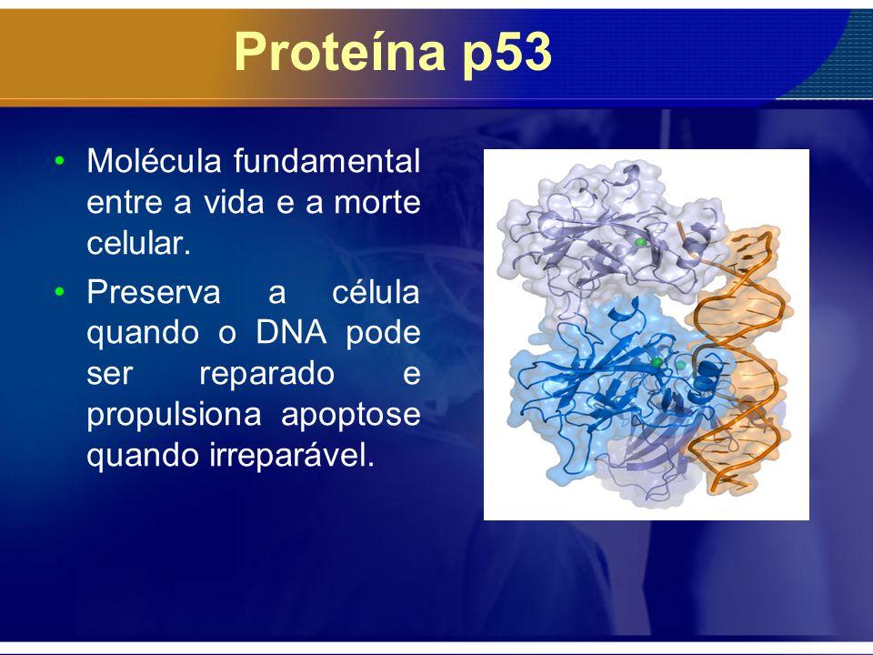 Proteína p53 Molécula fundamental entre a vida e a morte celular.