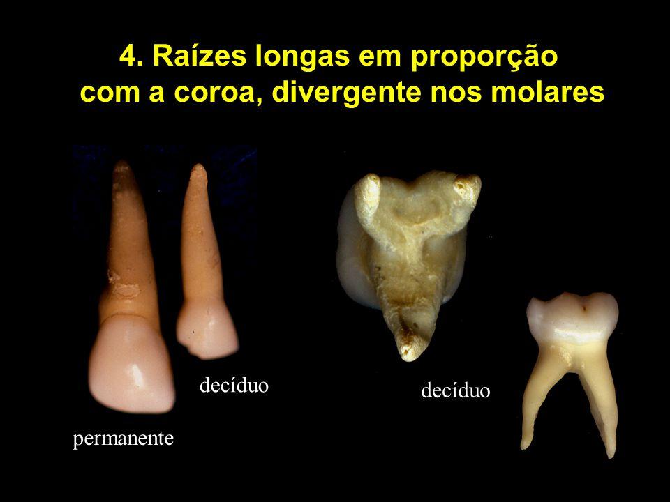4. Raízes longas em proporção com a coroa, divergente nos molares