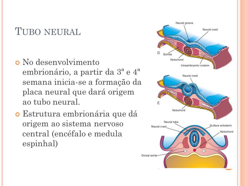 Tubo neural No desenvolvimento embrionário, a partir da 3ª e 4ª semana inicia-se a formação da placa neural que dará origem ao tubo neural.