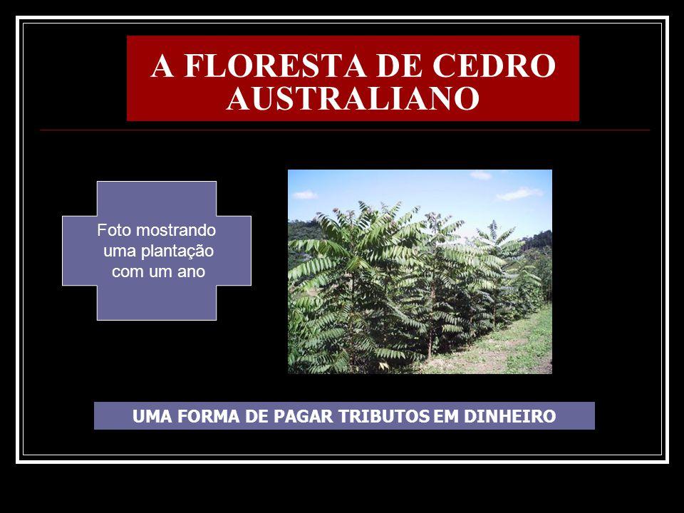 A FLORESTA DE CEDRO AUSTRALIANO