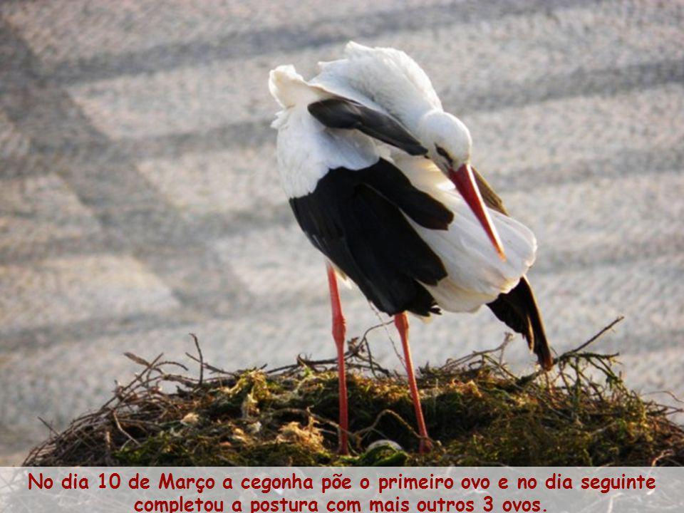 No dia 10 de Março a cegonha põe o primeiro ovo e no dia seguinte completou a postura com mais outros 3 ovos.