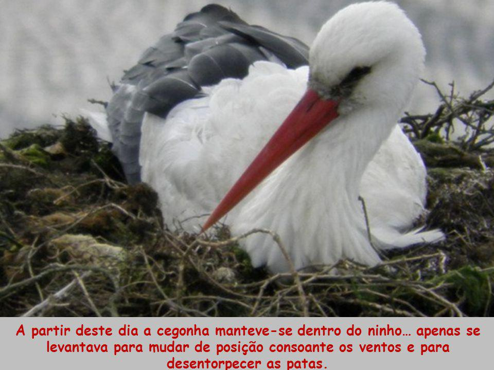 A partir deste dia a cegonha manteve-se dentro do ninho… apenas se levantava para mudar de posição consoante os ventos e para desentorpecer as patas.