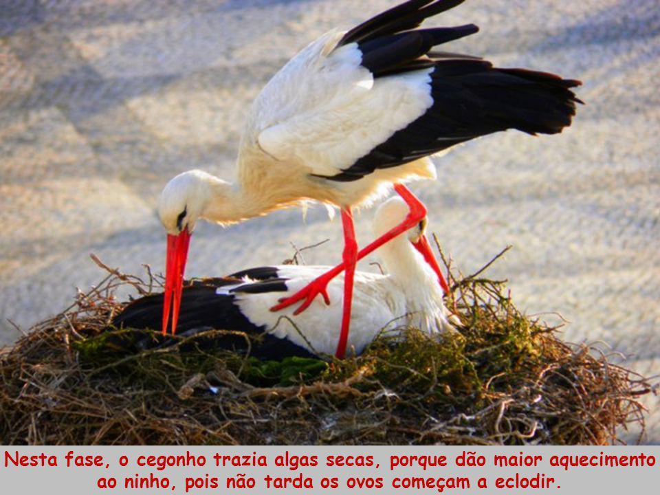 Nesta fase, o cegonho trazia algas secas, porque dão maior aquecimento ao ninho, pois não tarda os ovos começam a eclodir.