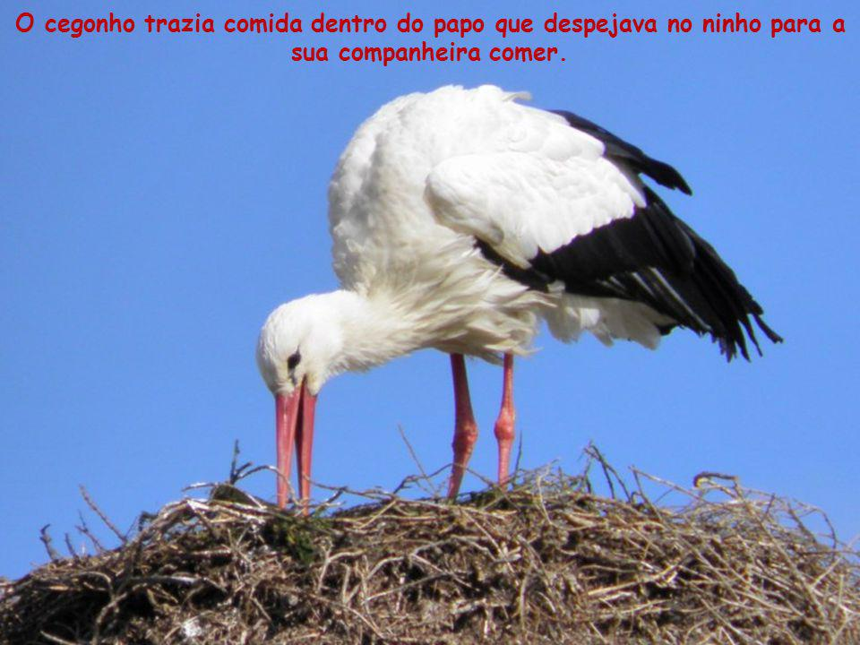 O cegonho trazia comida dentro do papo que despejava no ninho para a sua companheira comer.