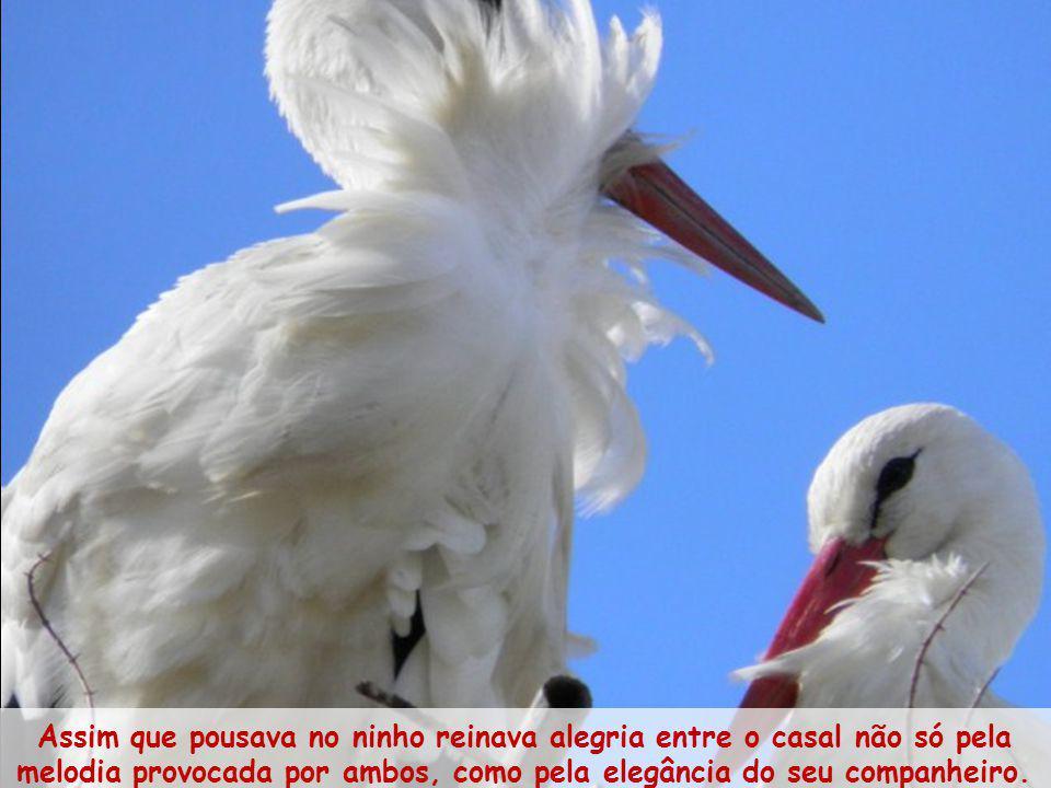 Assim que pousava no ninho reinava alegria entre o casal não só pela melodia provocada por ambos, como pela elegância do seu companheiro.