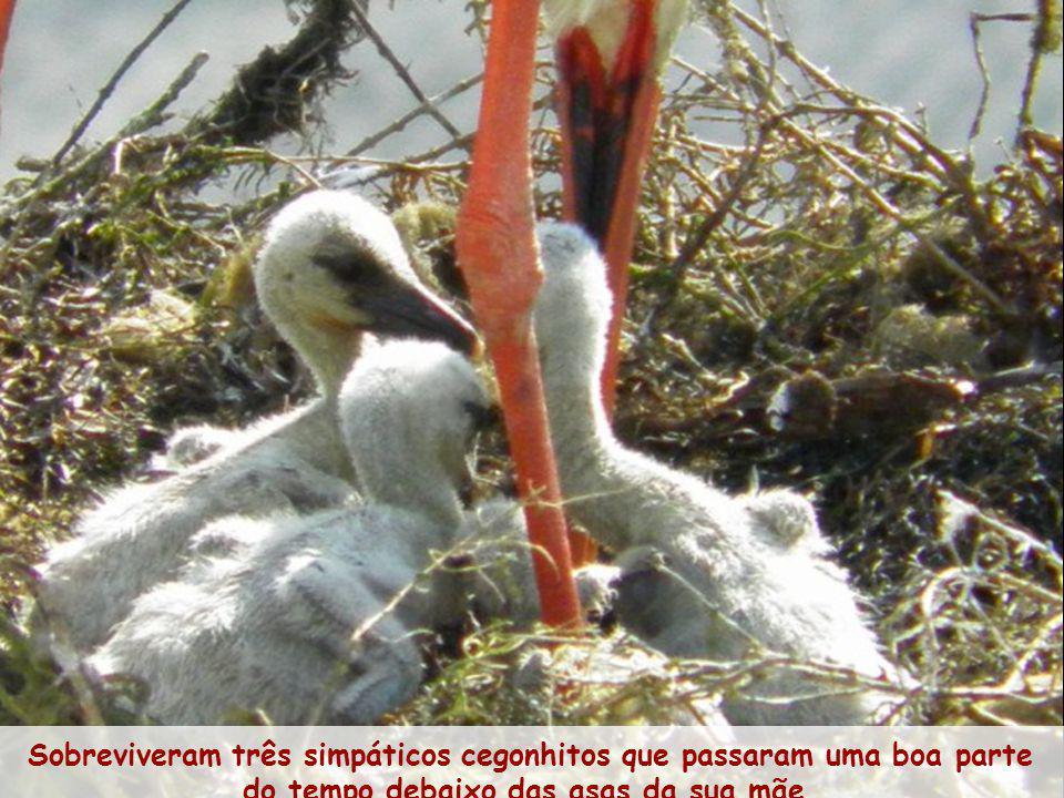 Sobreviveram três simpáticos cegonhitos que passaram uma boa parte do tempo debaixo das asas da sua mãe.