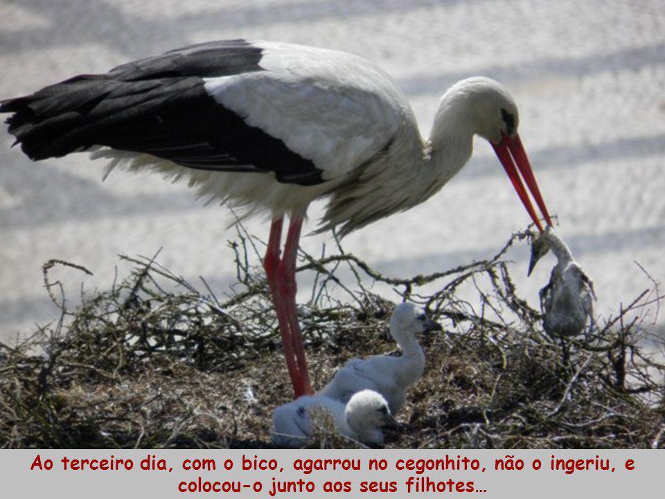 Ao terceiro dia, com o bico, agarrou no cegonhito, não o ingeriu, e colocou-o junto aos seus filhotes…