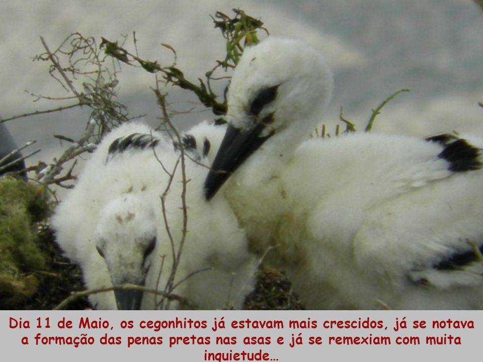 Dia 11 de Maio, os cegonhitos já estavam mais crescidos, já se notava a formação das penas pretas nas asas e já se remexiam com muita inquietude…