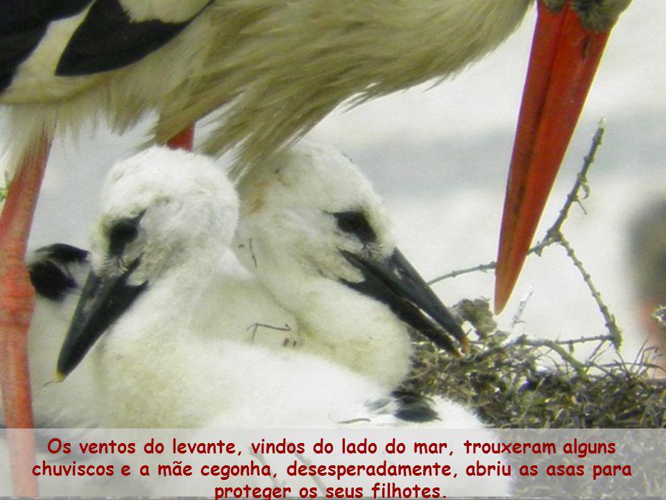 Os ventos do levante, vindos do lado do mar, trouxeram alguns chuviscos e a mãe cegonha, desesperadamente, abriu as asas para proteger os seus filhotes.