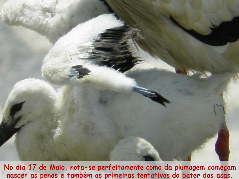 No dia 17 de Maio, nota-se perfeitamente como da plumagem começam nascer as penas e também as primeiras tentativas do bater das asas.