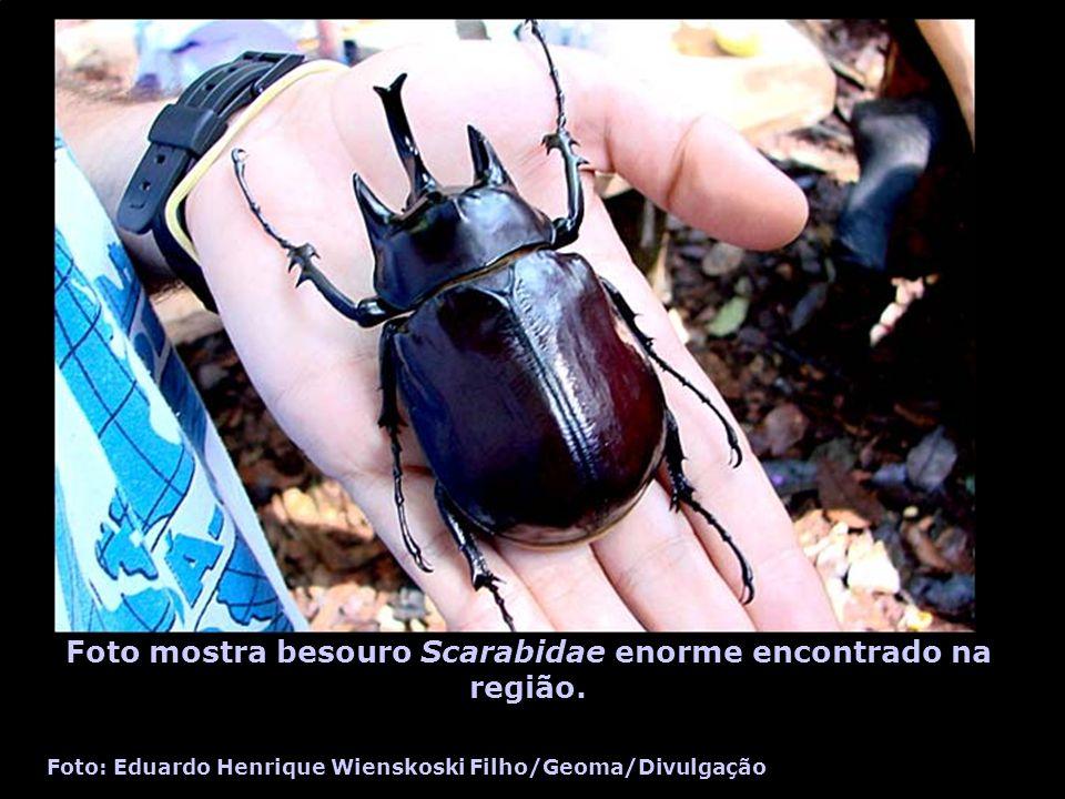 Foto mostra besouro Scarabidae enorme encontrado na região.