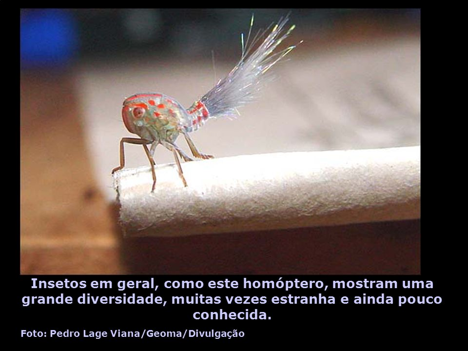 Insetos em geral, como este homóptero, mostram uma grande diversidade, muitas vezes estranha e ainda pouco conhecida.