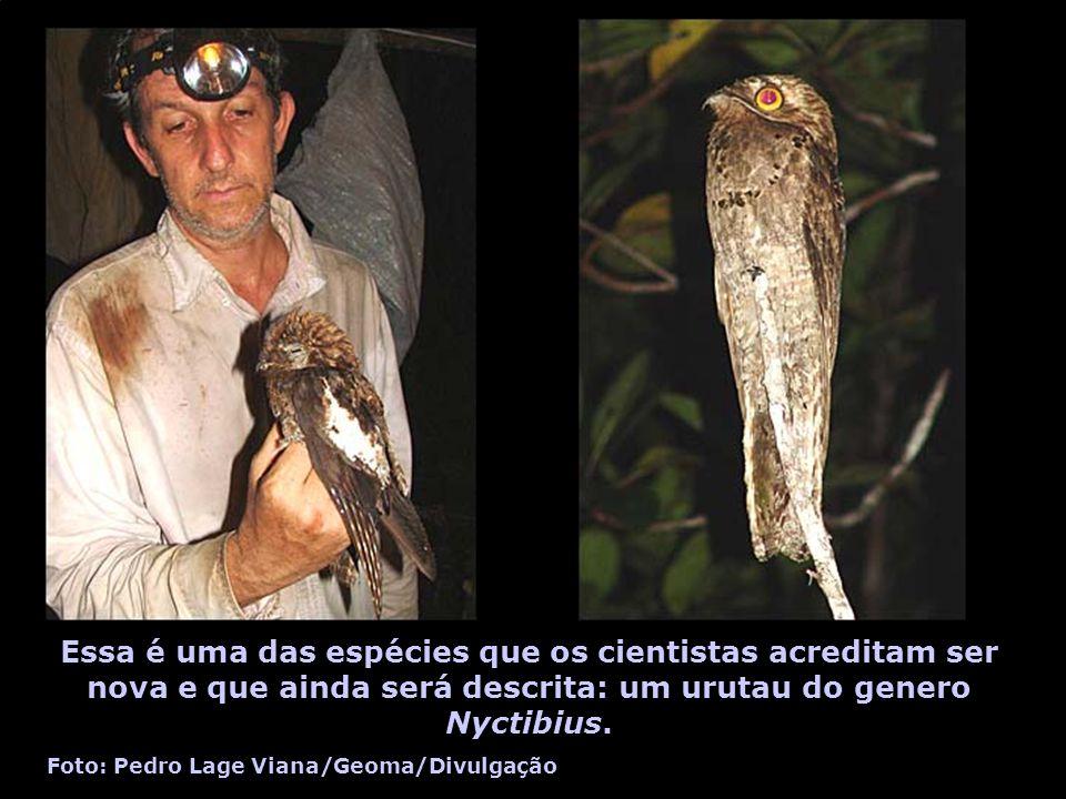 Essa é uma das espécies que os cientistas acreditam ser nova e que ainda será descrita: um urutau do genero Nyctibius.