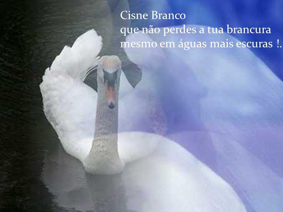 Cisne Branco que não perdes a tua brancura mesmo em águas mais escuras !...