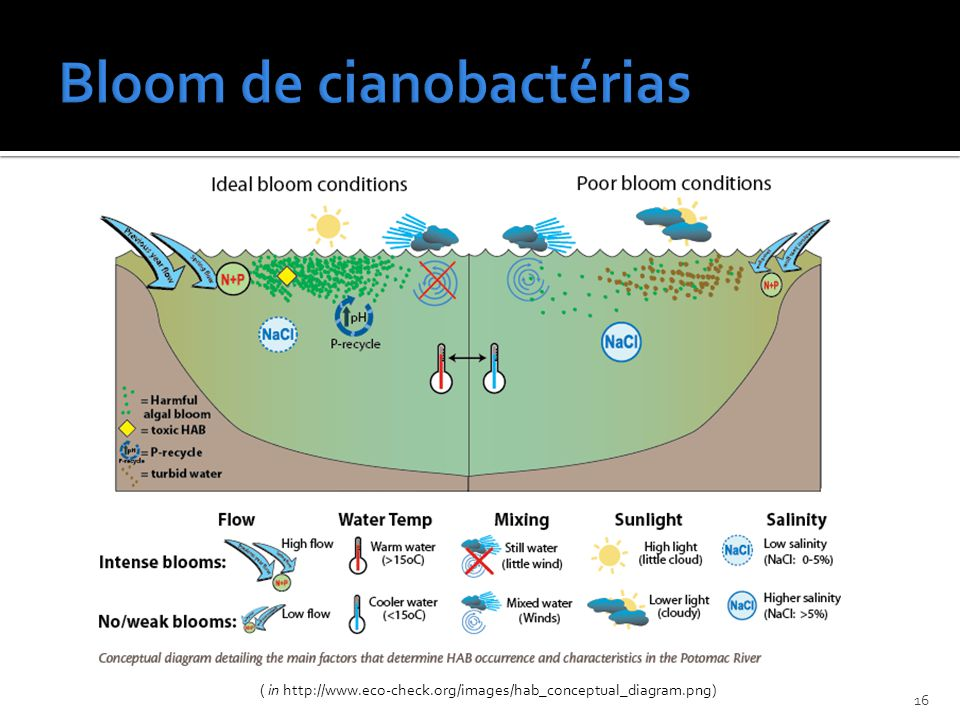 Bloom de cianobactérias
