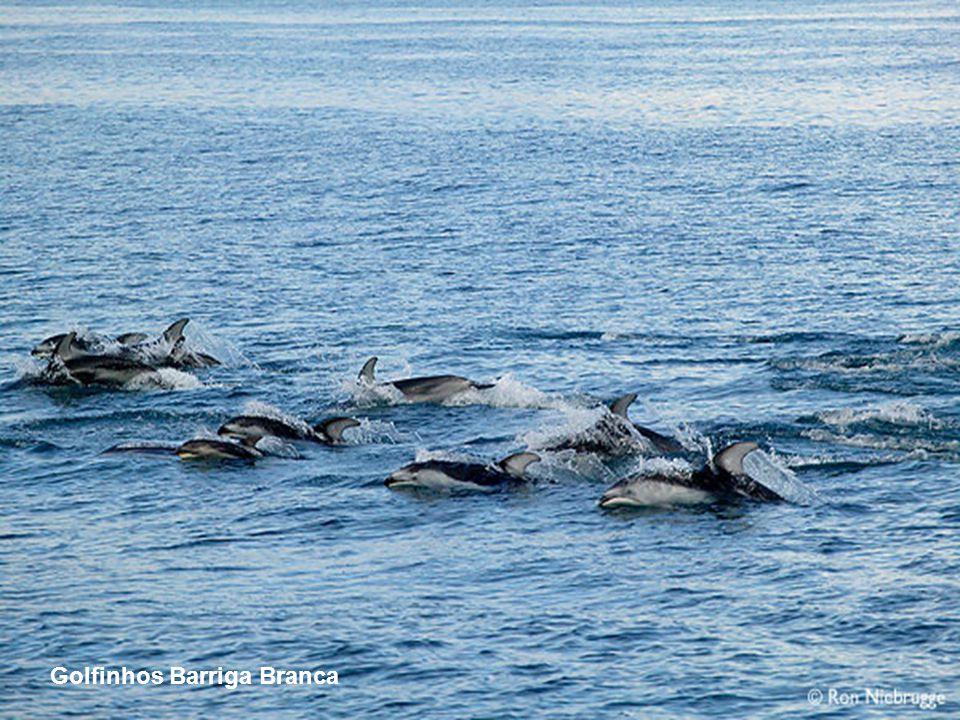 Golfinhos Barriga Branca