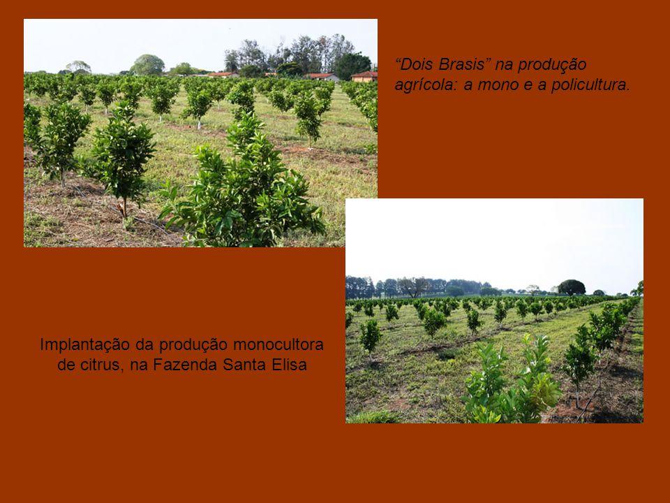 Implantação da produção monocultora de citrus, na Fazenda Santa Elisa