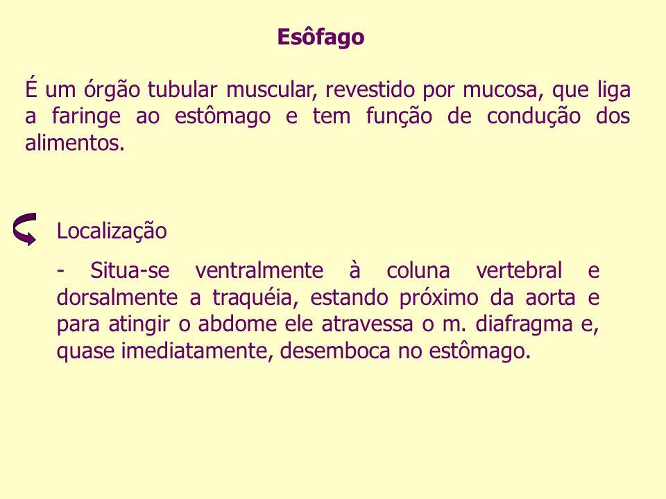 Esôfago É um órgão tubular muscular, revestido por mucosa, que liga a faringe ao estômago e tem função de condução dos alimentos.