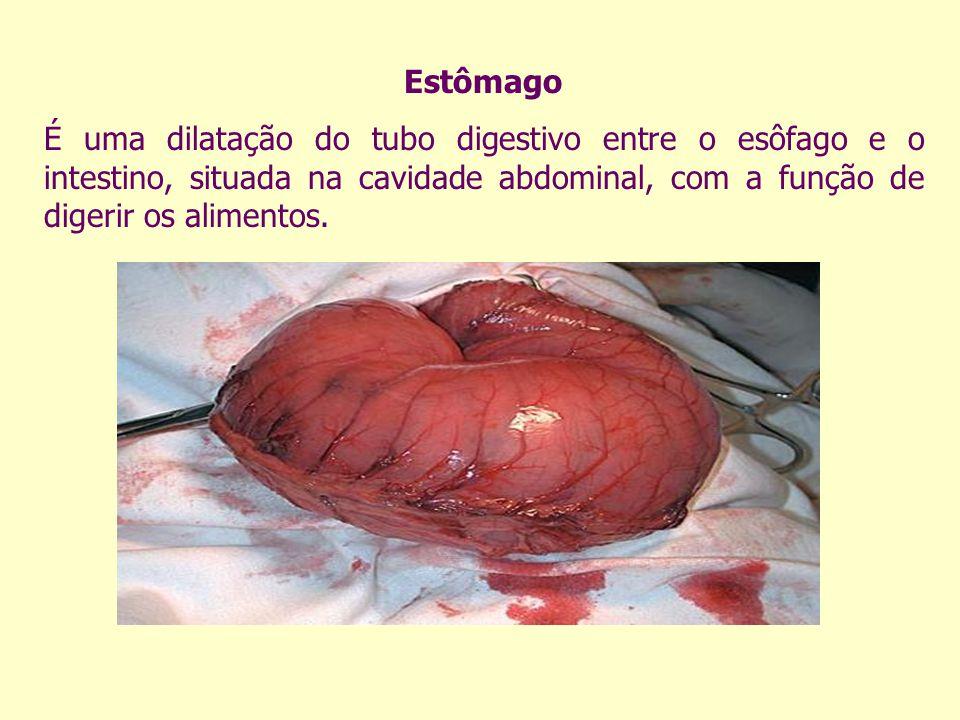Estômago É uma dilatação do tubo digestivo entre o esôfago e o intestino, situada na cavidade abdominal, com a função de digerir os alimentos.