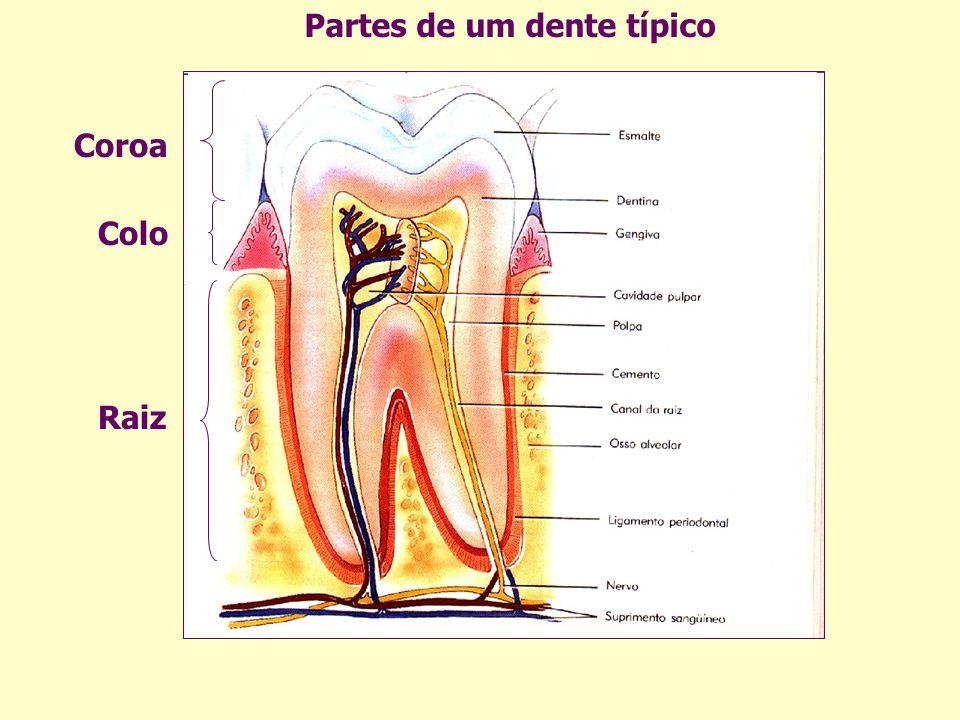 Partes de um dente típico