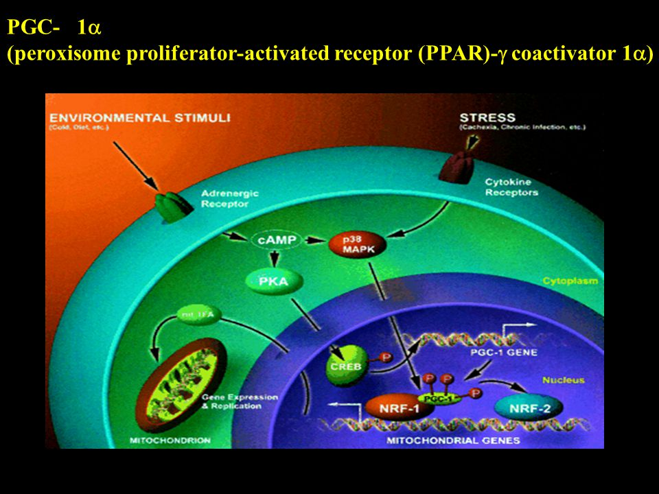 (peroxisome proliferator-activated receptor (PPAR)- coactivator 1)