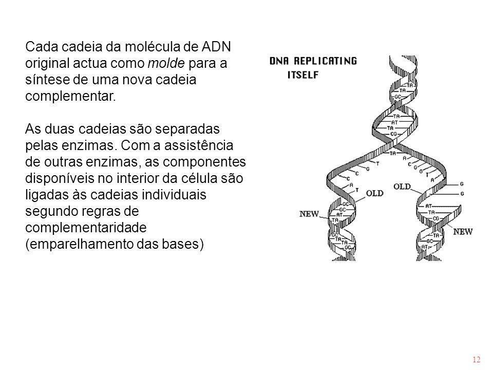 Cada cadeia da molécula de ADN original actua como molde para a síntese de uma nova cadeia complementar.