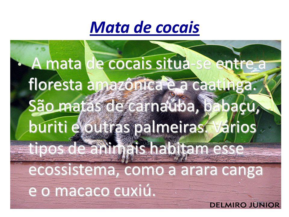 Mata de cocais