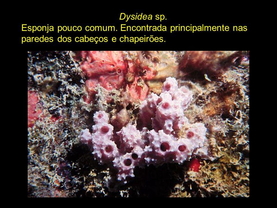 Dysidea sp. Esponja pouco comum. Encontrada principalmente nas paredes dos cabeços e chapeirões.