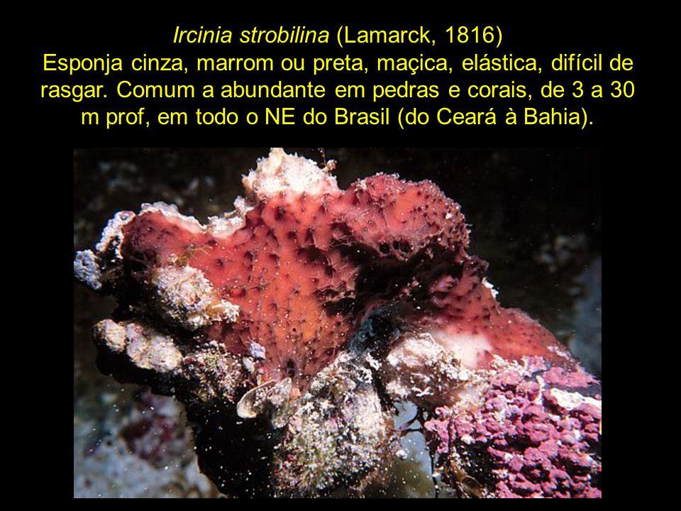 Ircinia strobilina (Lamarck, 1816)