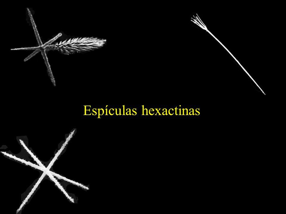 Espículas hexactinas