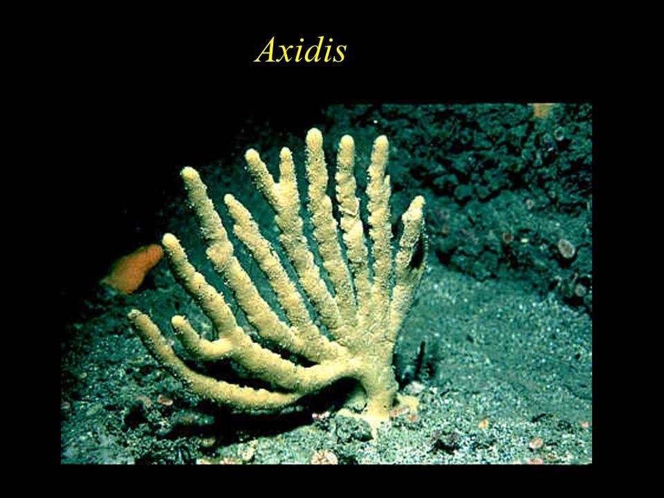 Axidis