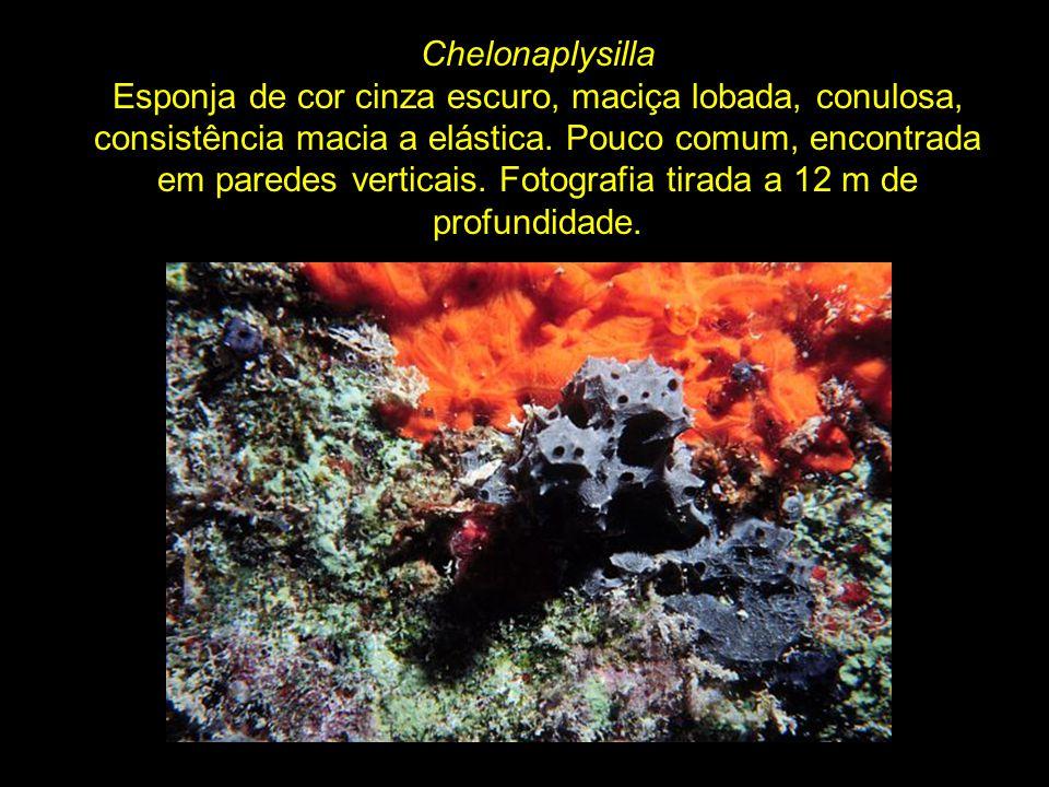 Chelonaplysilla