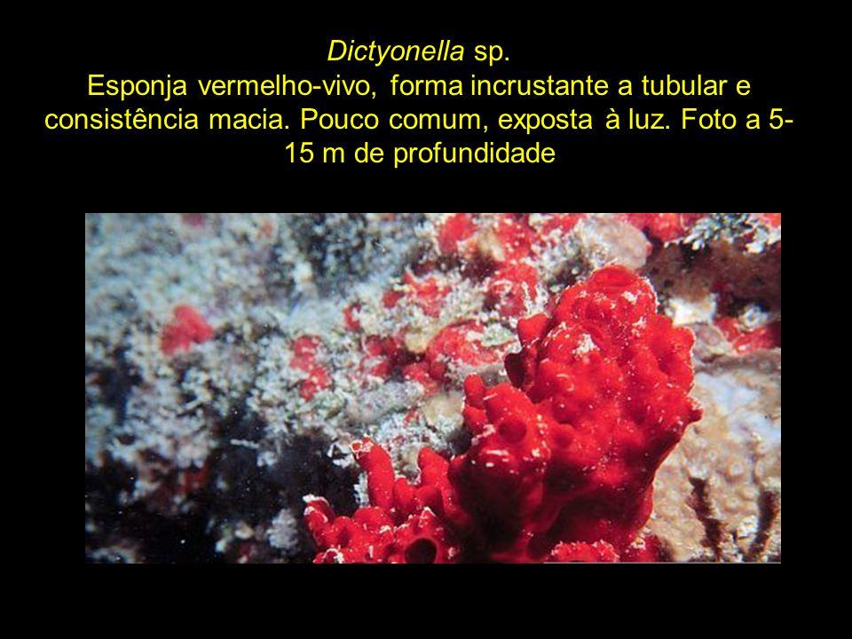 Dictyonella sp. Esponja vermelho-vivo, forma incrustante a tubular e consistência macia.